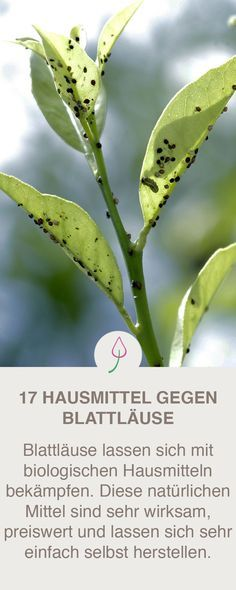 17 wirksame und biologisch hergestellte Hausmittel, die Blattläuse wirksam und … 17 effective and organically produced home remedies that effectively and inexpensively prevent and combat aphids.