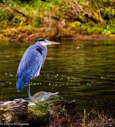 Great Blue Heron, Birch Bay State Park, Blaine WA  Photo Credit- Chris Williams Exploration Photography