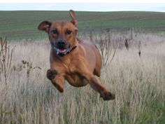 Running Ridgeback The ridgeback was bred to track game and Lions