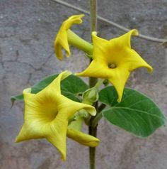 Philibertia speciosa (apocinaceae). Doca de las yungas.