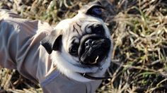 mops dog picture 8k