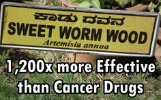 Chinese Herb Found to be 1,200x more Effective than Cancer Drugs