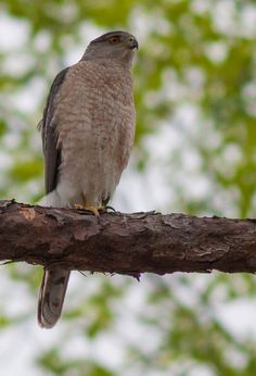 "For my husband ""bird man! Pretty Birds, Beautiful Birds, Animals Beautiful, Nature Pictures, Animal Pictures, Country Critters, Bird Sightings, List Of Birds, Cooper's Hawk"