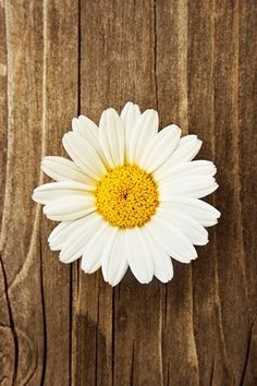 Daisy flower 1