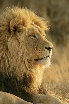 wie ANMUTIG ein Löwe doch ist! wow (y)
