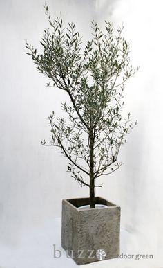 オリーブ レッチーノ 美しい幹と葉のバランス