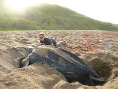 Leather Back Turtle, Keys Beach - StKitts   WOW #SandorCity Contest: St Kitts #TravelBrilliantly
