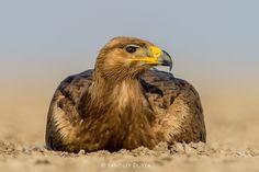 Steppe Eagle by Sandeep Dutta on 500px