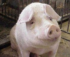 В Испании фермеры пошли под суд за жестокое обращение с животными http://www.agroxxi.ru/mirovye-agronovosti/v-ispanii-fermery-poshli-pod-sud-za-zhestokoe-obraschenie-s-zhivotnymi.html  Cуд в Испании приговорил к году тюрьмы двух работников фермы за издевательства и жестокие убийства свиней