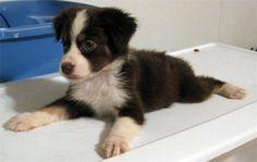 D-AAAAWWWW mini austrailian shepherd = my next puppy