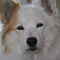 #dogalize Razze cani: il cane Iceland Dog carattere e caratteristiche #dogs #cats #pets