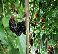 Mulberry bushes may be triggering your allergies! #Bonus recipe for a #GF mulberry, orange + almond tart