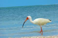 Shore bird on Bonita Beach in Southwest Florida.