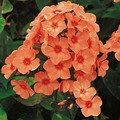 Phlox paniculata 'Prince of Orange' - Jacksons Nurseries