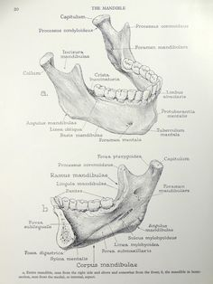 1950's Human Jaw Mandible Anatomy Original Vintage by oddlyends