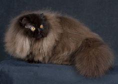 Black Persian cat Pictures