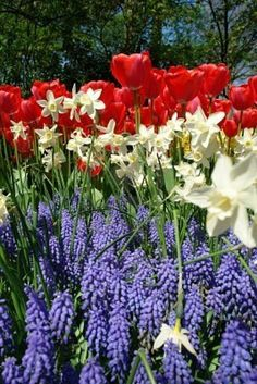 Red, white and blue in the garden - Spring blooming bulbs