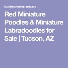 Red Miniature Poodles & Miniature Labradoodles for Sale   Tucson, AZ