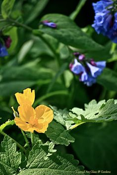 Wood poppy with Virginia Bluebells