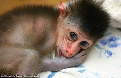 Big family: Mandrills live in large groups called hordes which can average more than 800 monkeys