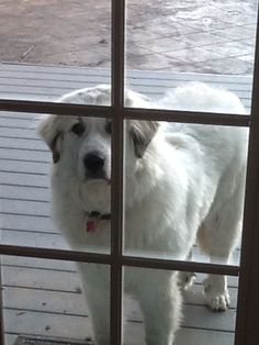 Pyrenees Puppies, Great Pyrenees Dog, Gentle Giant Dogs, Best Dog Breeds, Crazy Dog, White Dogs, Service Dogs, Big Dogs, Dexter