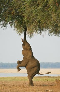 """""""'Bipedal Elephant 2.' This behaviour is apprently often seen in Mana Pools…"""