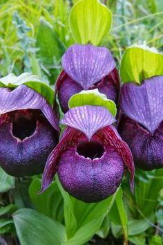 Cypripedium Tibeticum Orchids