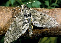 Tomato Hornworm Moth, Manduca sexta