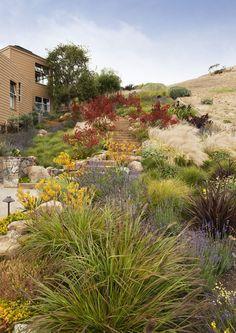 yellow and red kangaroo paw. Tiburon Hillside, CA. By Arterra Landscape Architects.