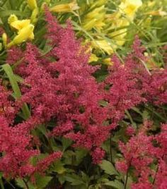 Astilbe 'Red Sentinel' - False Spirea by Roane Grown Perennial, http://www.amazon.com/dp/B00C3U71W0/ref=cm_sw_r_pi_dp_ldhFrb17D161E