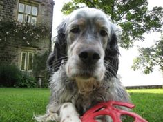 English Setter - Ludo - 6 yrs old.