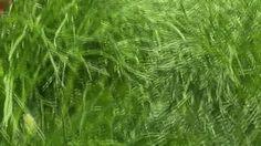 Bujor de stepă (Paeonia tenuifolia)-Rezervaţia de Bujori de Stepă-RO Paeonia Tenuifolia, Flora, Herbs, Plants, Herb, Medicinal Plants