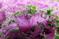Ornamental Cabbage by njchow82, via Flickr