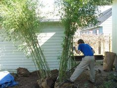 dividing clumping bamboo