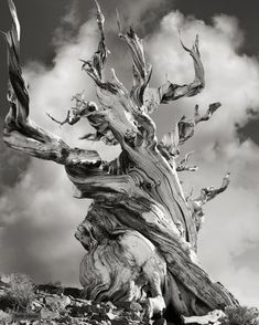 Beautiful dark twisted fantasies: the world's most ancient trees – in pictures From pines in California to Welsh yews carved into pulpits, photographer Beth Moon has spent 14 years travelling the globe in search of exquisite trees - Bristlecone Pine, USA, Beautiful Dark Twisted Fantasy, Dark And Twisted, Twisted Tree, Foto Fantasy, Bristlecone Pine, Picture Tree, Tree Woman, Old Trees, Tree Photography