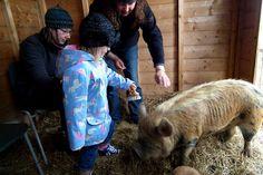 Chutney absolutely loves being brushed, as all princess pigs do. Kune kune pig, Skate Rumple Orkney