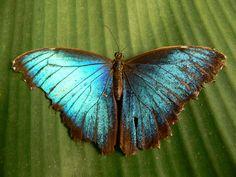 Papillon - Morpho Peleides (Costa Rica) -