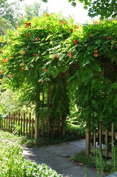 Trumpet Vine, Campsis radicans, with its bright orange flowers, covers the arbor entrance way ..