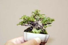Growing Bonsai: How to Grow Your Own Bonsai Tree