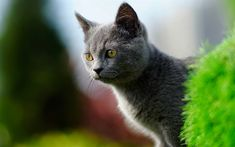Download wallpapers British Shorthair, domestic cat, gray cat, cute animals, cats