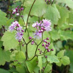 """Thalictrum actaeifolium """"Perfume Star"""" Pluizige fijne bloem,witte uiteinden aan bloemblaadjes, luchtige vertakte bloemaar aan hoge stengel(1mtr), lichtgeurende bloem, lang- en rijkbloeiend, blauwgroen fijn blad, niet te droge goed gedraineerde grond, insecten- en vlinderplant, oorspr uit Japan en Korea"""