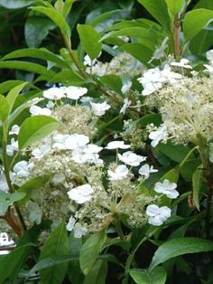 Hydrangea seemanii Lovely, evergreen climber with eye-catching flowers. Evergreen Climbing Plants, Evergreen Climbers, Climbing Hydrangea, Climbing Vines, Trees And Shrubs, Asian Plants, North Facing Garden, Late Summer Flowers, Country Cottage Garden