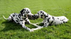 Did you know - Dalmatian puppies are born completely white. Their unmistakable spots start to appear at around 10-14 days old, and then continue to appear on their bodies as they grow.