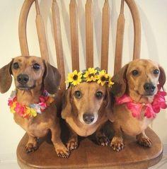The hula girls