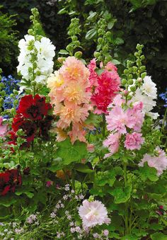 Hollyhocks (doubles).....my sister and I used to make old fashioned dolls out of the flowers, buds and toothpicks!