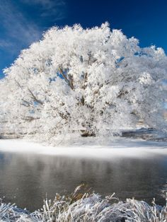Hoar Frost on Willow Tree, near Omakau, Central Otago, South Island, New Zealand Photographic Print by David Wall Central Otago, I Love Winter, Winter Snow, Winter Scenery, Winter Trees, All Nature, Amazing Nature, Snow Scenes, Winter Beauty