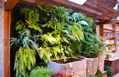 Ferns on a greenwall (Phlebodium, Nephrolepis) | by KarlGercens.com GARDEN LECTURES
