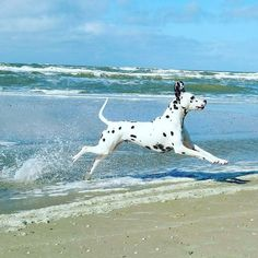 Frolicking on the beach...... Dalmatian dog