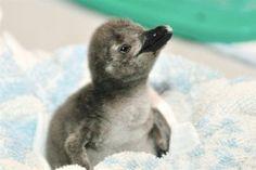 baby penguin in a blanket