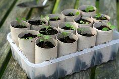 sadenice hrnca v improvizovanej z papierových trubiek od toaletného papiera
